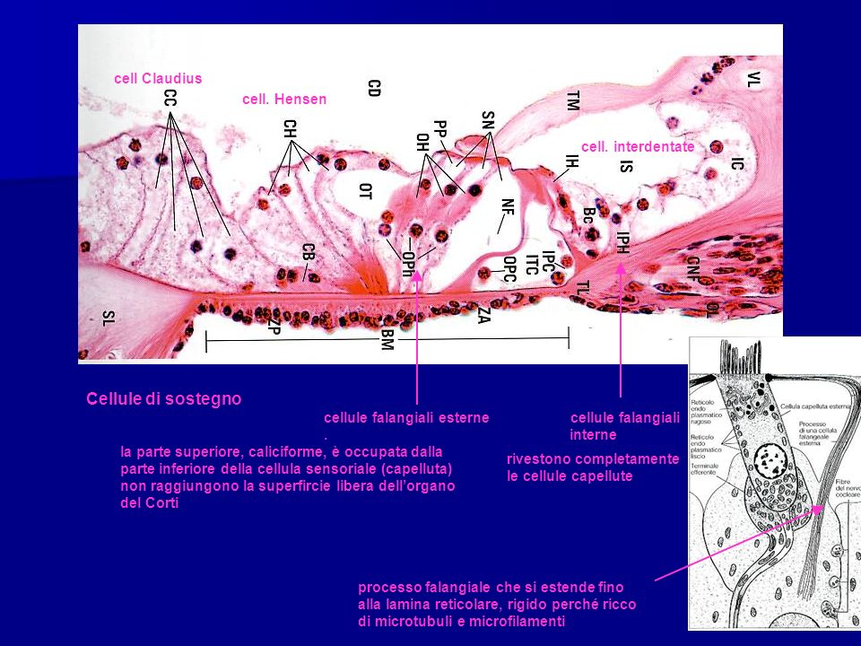 Cellule di sostegno cell Claudius cell. Hensen cell. interdentate