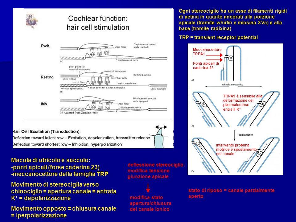 Movimento opposto = chiusura canale = iperpolarizzazione