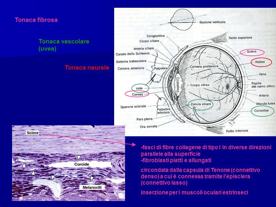 Tonaca vascolare (uvea)