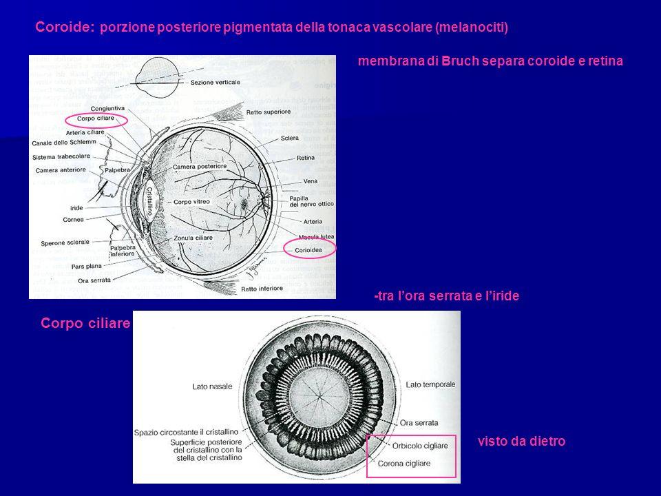 Coroide: porzione posteriore pigmentata della tonaca vascolare (melanociti)
