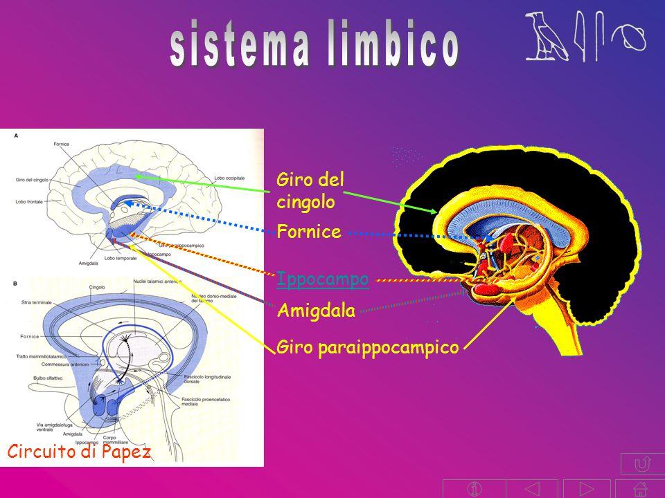 sistema limbico Giro del cingolo Fornice Ippocampo Amigdala