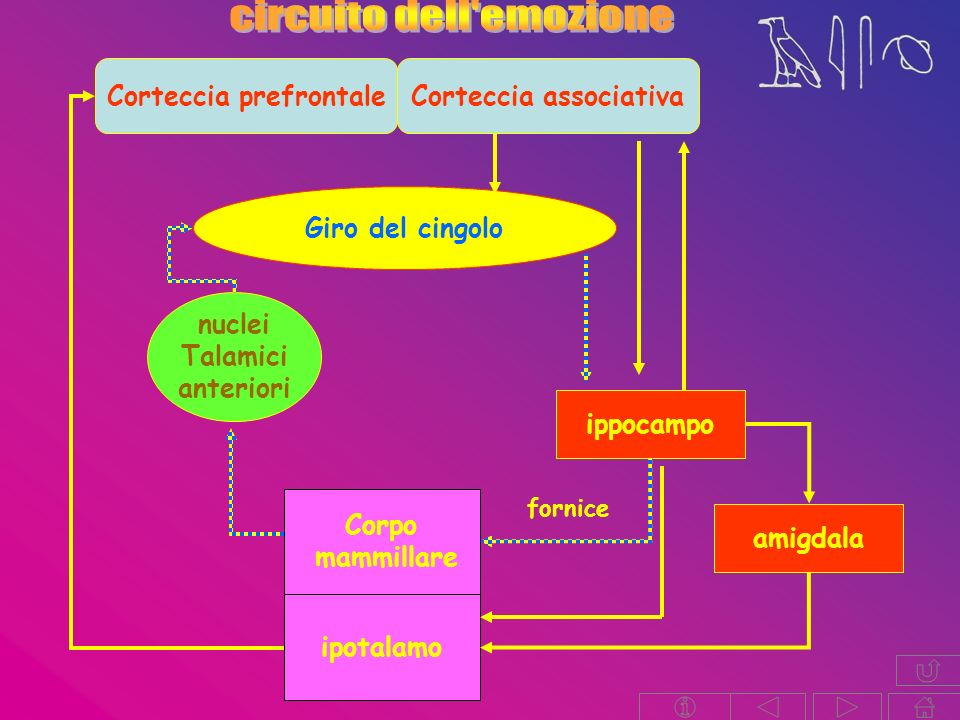 Corteccia prefrontale Corteccia associativa