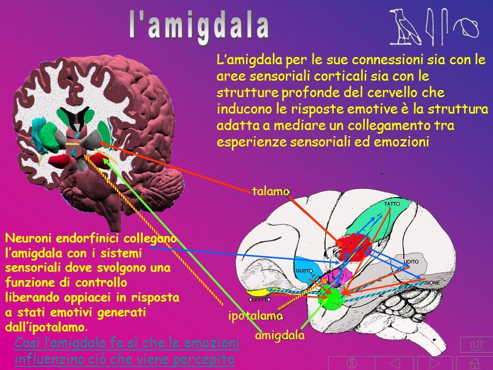 l amigdala