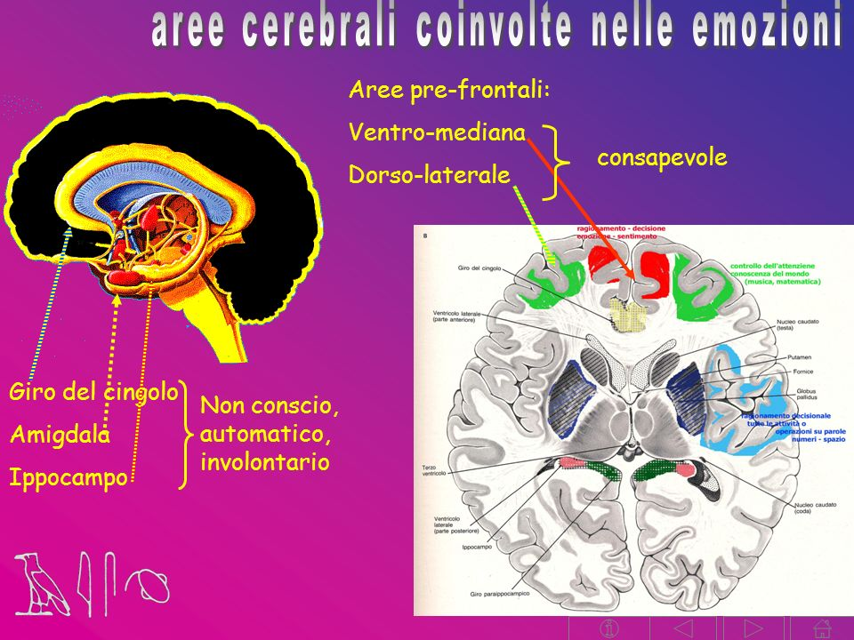 aree cerebrali coinvolte nelle emozioni