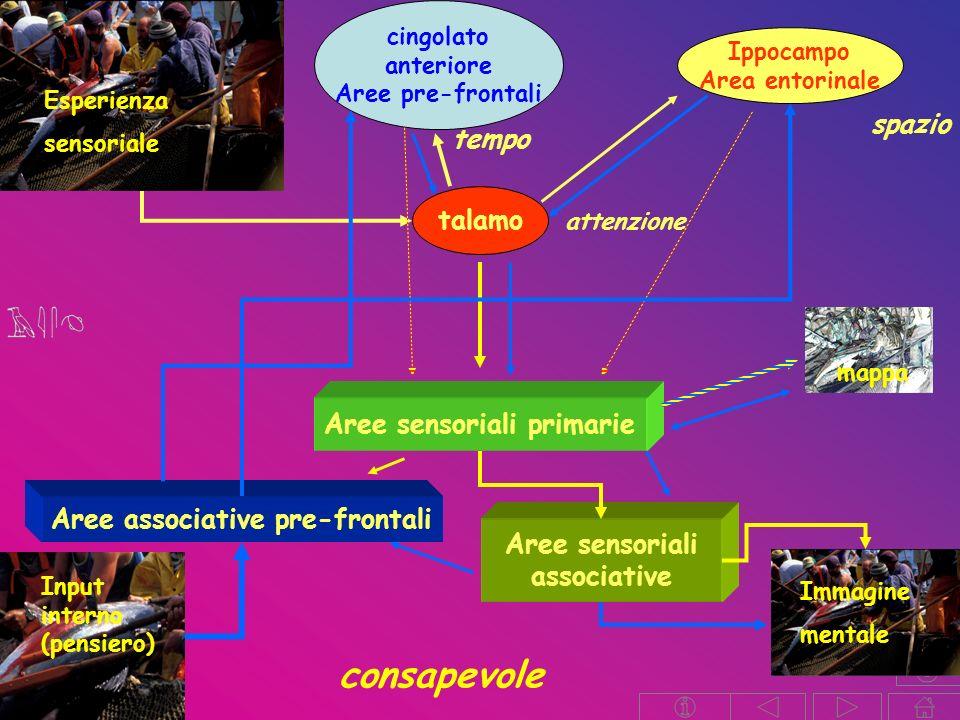 Aree sensoriali primarie Aree associative pre-frontali