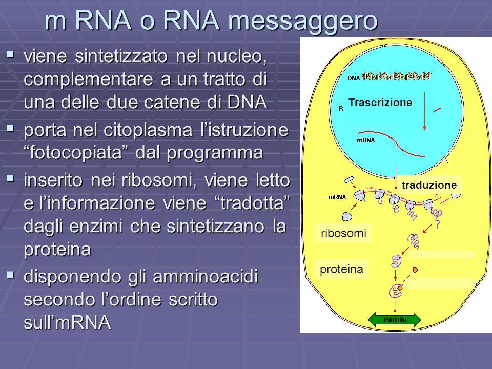 m RNA o RNA messaggero Trascrizione. traduzione. proteina. ribosomi.