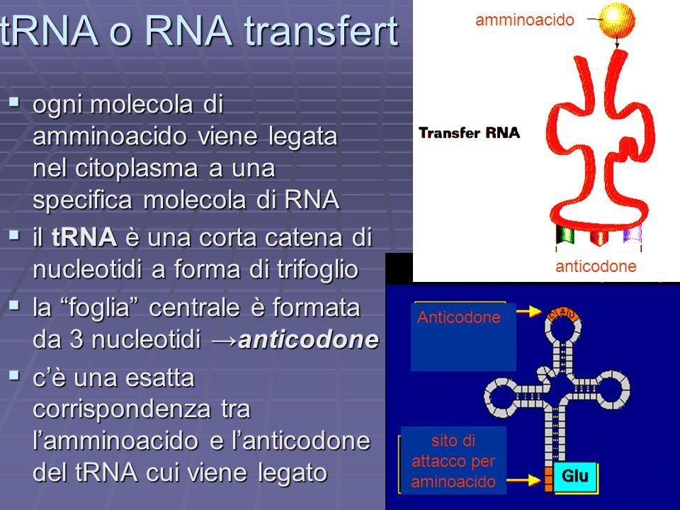 tRNA o RNA transfertanticodone. amminoacido. ogni molecola di amminoacido viene legata nel citoplasma a una specifica molecola di RNA.