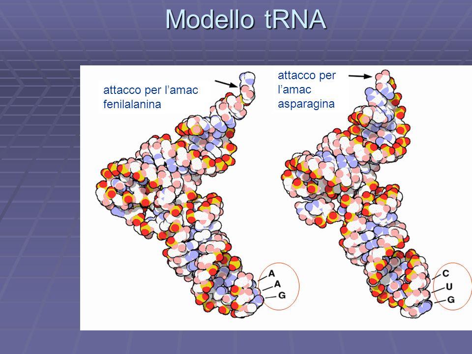 Modello tRNA attacco per l'amac attacco per l'amac fenilalanina