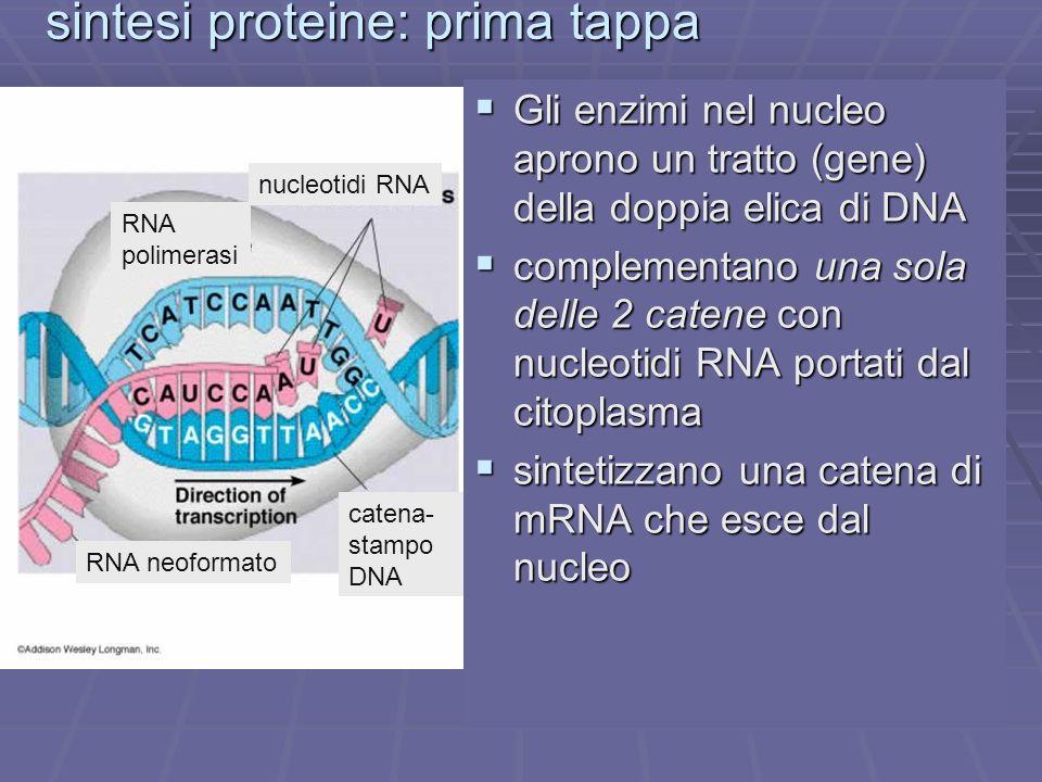 sintesi proteine: prima tappa