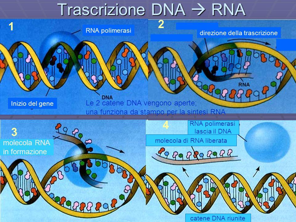 molecola di RNA liberata