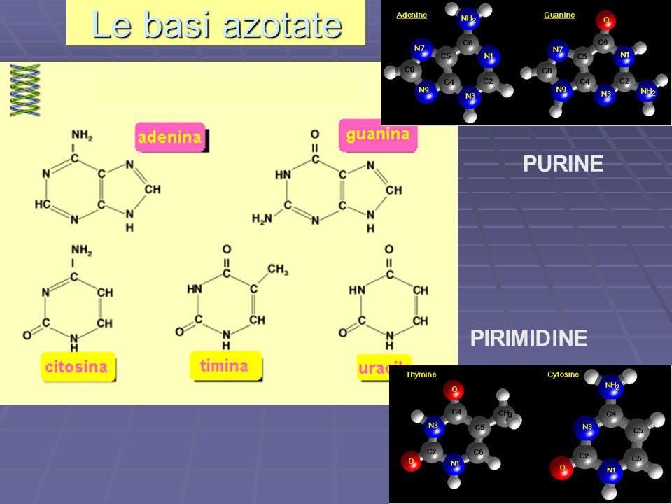 Le basi azotate PURINE PIRIMIDINE