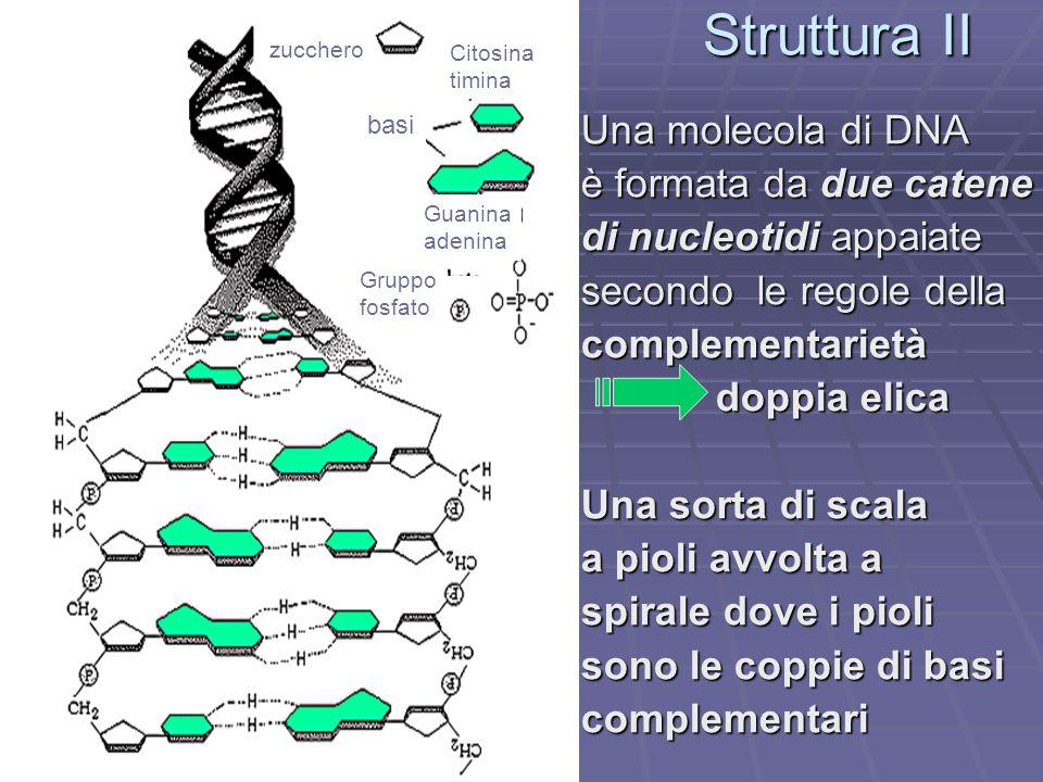 Struttura II Una molecola di DNA è formata da due catene