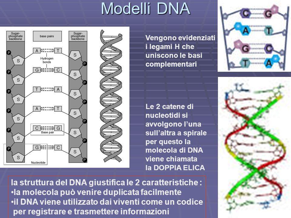 Modelli DNA la struttura del DNA giustifica le 2 caratteristiche :