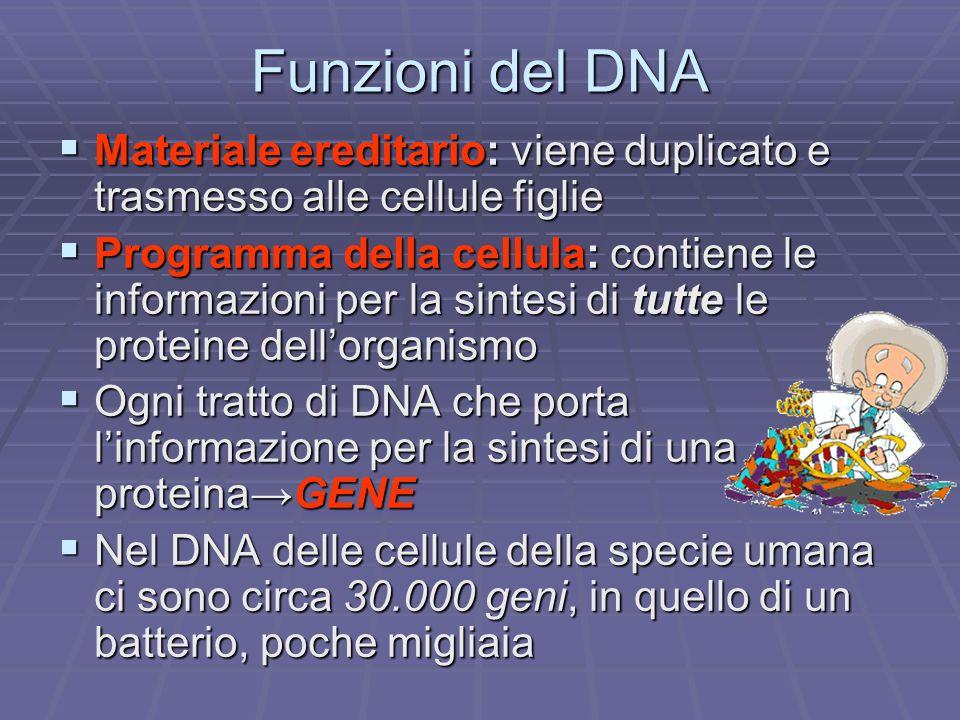 Funzioni del DNA Materiale ereditario: viene duplicato e trasmesso alle cellule figlie.
