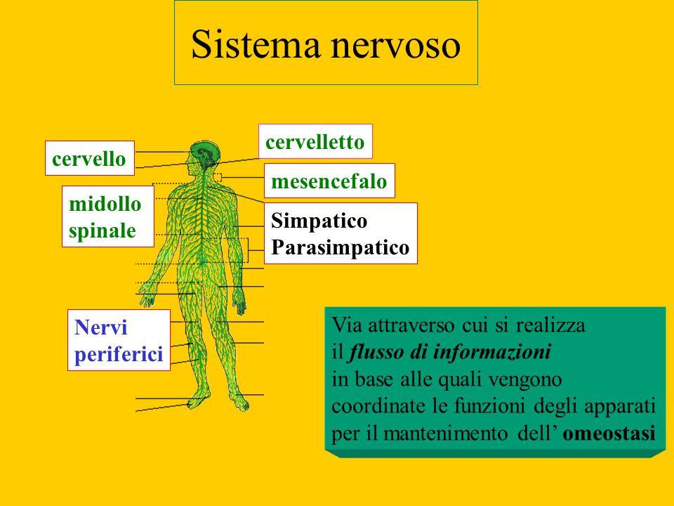 Sistema nervoso cervelletto cervello mesencefalo midollo spinale