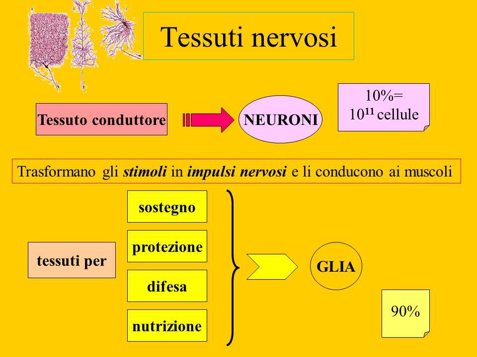 Tessuti nervosi 10%= 1011 cellule NEURONI Tessuto conduttore