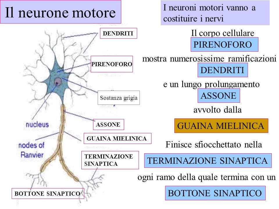 Il neurone motore I neuroni motori vanno a costituire i nervi