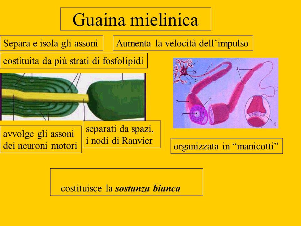 Guaina mielinica costituita da più strati di fosfolipidi