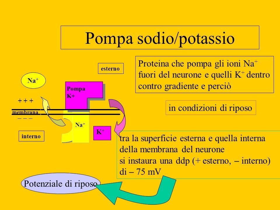 Pompa sodio/potassio Proteina che pompa gli ioni Na+