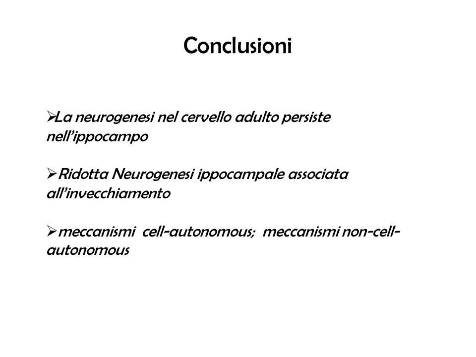 Conclusioni La neurogenesi nel cervello adulto persiste nell'ippocampo