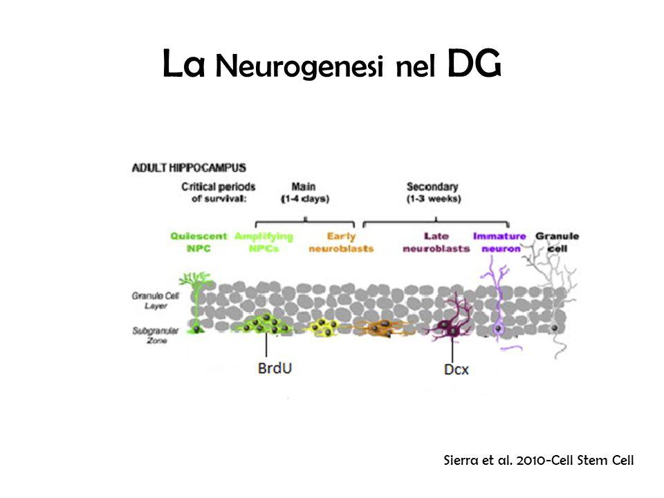 La Neurogenesi nel DG Sierra et al. 2010-Cell Stem Cell