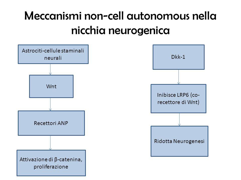 Meccanismi non-cell autonomous nella nicchia neurogenica