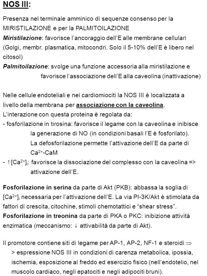 NOS III: Presenza nel terminale amminico di sequenze consenso per la MIRISTILAZIONE e per la PALMITOILAZIONE.