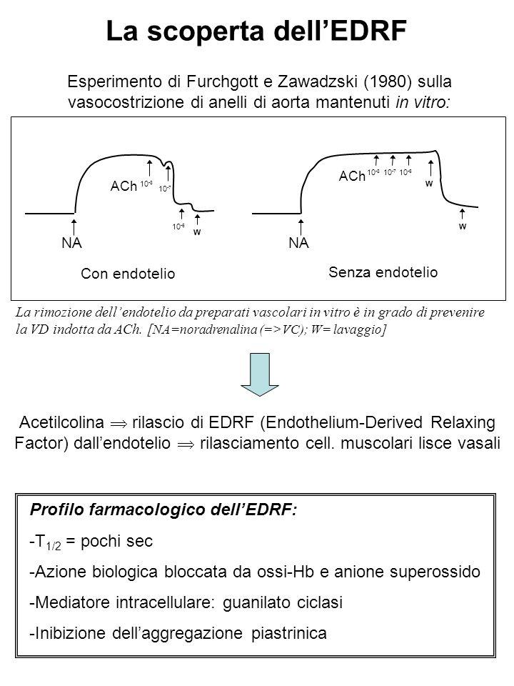 La scoperta dell'EDRF Esperimento di Furchgott e Zawadzski (1980) sulla vasocostrizione di anelli di aorta mantenuti in vitro: