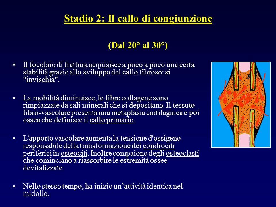 Stadio 2: Il callo di congiunzione (Dal 20° al 30°)