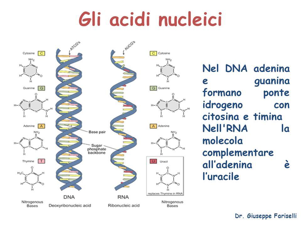 Gli acidi nucleici Nel DNA adenina e guanina formano ponte idrogeno con citosina e timina.