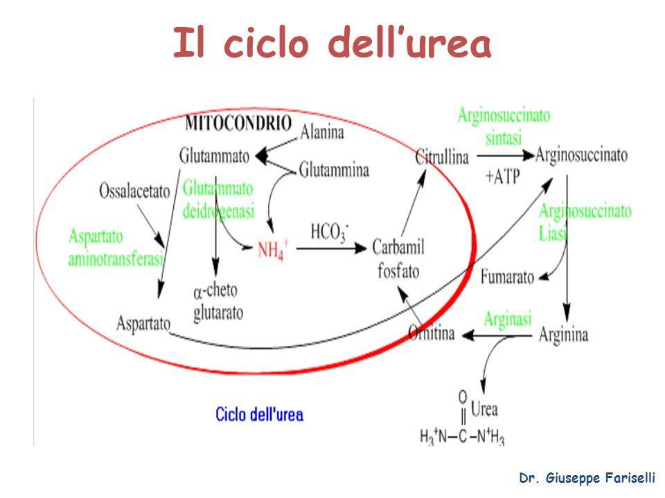 Il ciclo dell'urea Dr. Giuseppe Fariselli