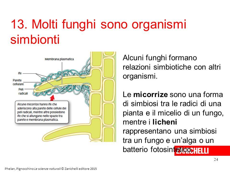 13. Molti funghi sono organismi simbionti
