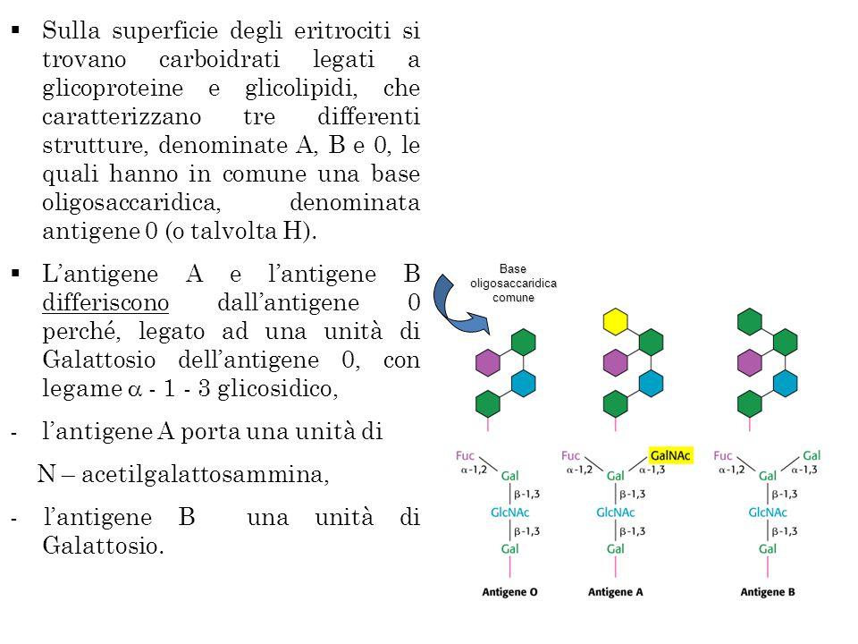 Base oligosaccaridica comune