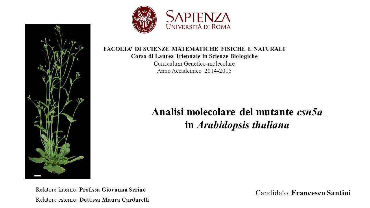 Analisi molecolare del mutante csn5a in Arabidopsis thaliana