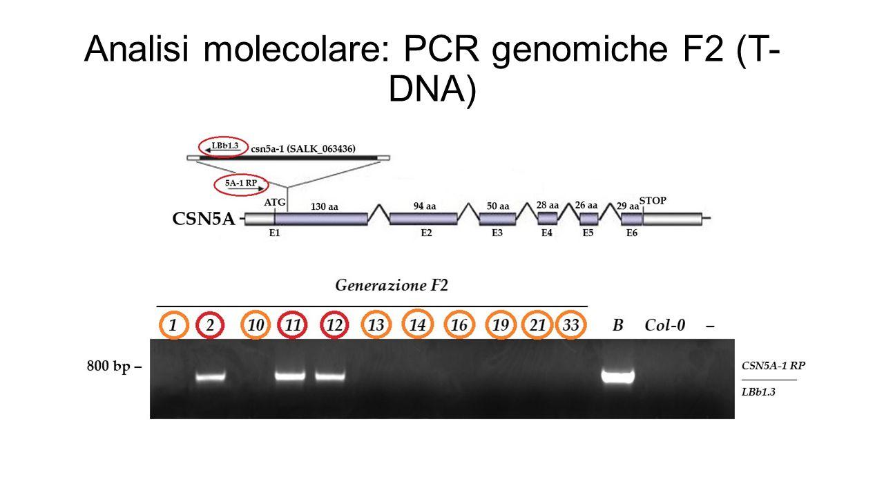 Analisi molecolare: PCR genomiche F2 (T-DNA)