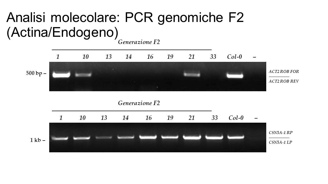 Analisi molecolare: PCR genomiche F2 (Actina/Endogeno)
