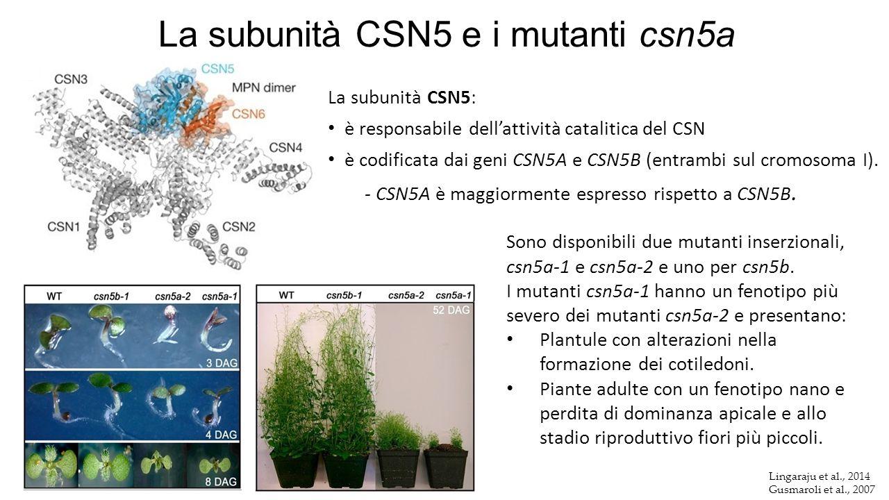 La subunità CSN5 e i mutanti csn5a