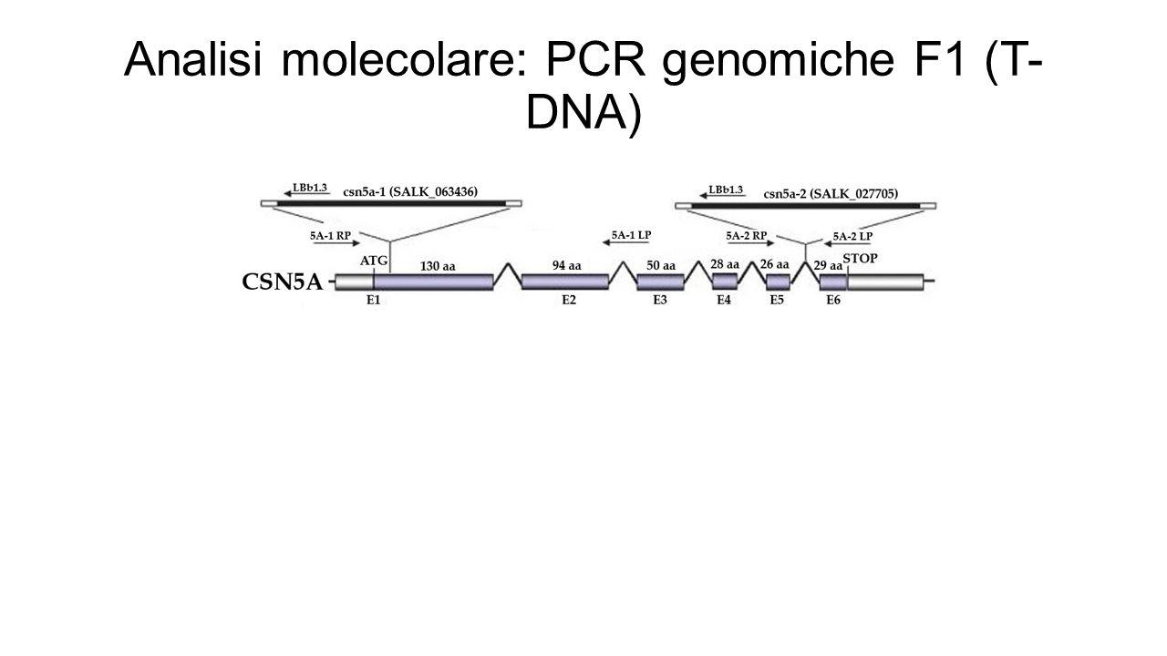 Analisi molecolare: PCR genomiche F1 (T-DNA)