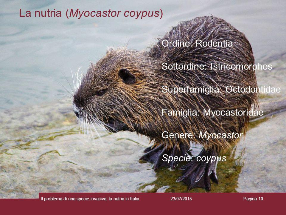 La nutria (Myocastor coypus)