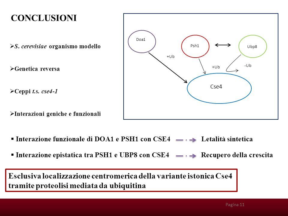 CONCLUSIONI Doa1. Psh1. Ubp8. Cse4. +Ub. -Ub. S. cerevisiae organismo modello. Genetica reversa.