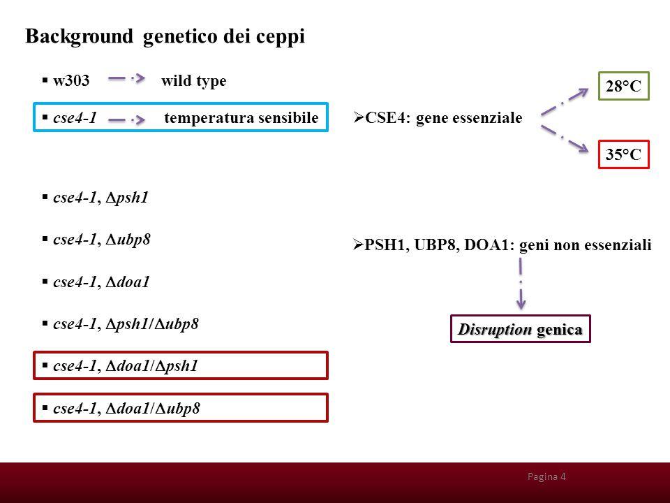 Background genetico dei ceppi