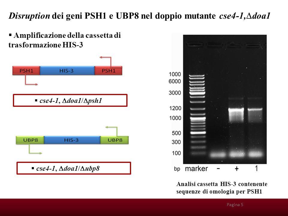 Disruption dei geni PSH1 e UBP8 nel doppio mutante cse4-1,Ddoa1