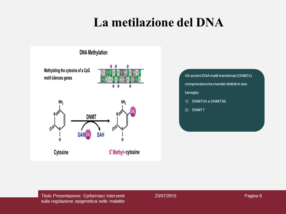 La metilazione del DNA Gli enzimi DNA metil-transferasi (DNMTs) comprendono tre membri distinti in due.
