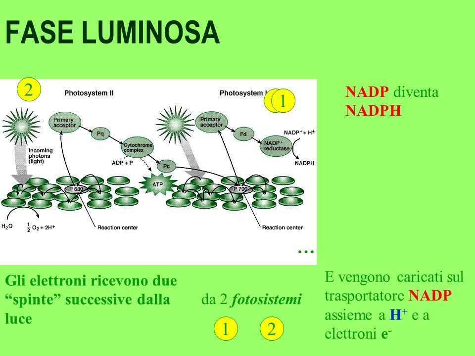 FASE LUMINOSA 2 1 … NADP diventa NADPH E vengono caricati sul