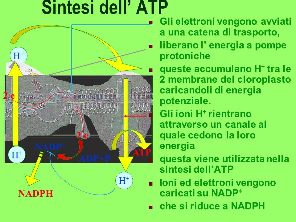 Sintesi dell' ATP Gli elettroni vengono avviati a una catena di trasporto, liberano l' energia a pompe protoniche.
