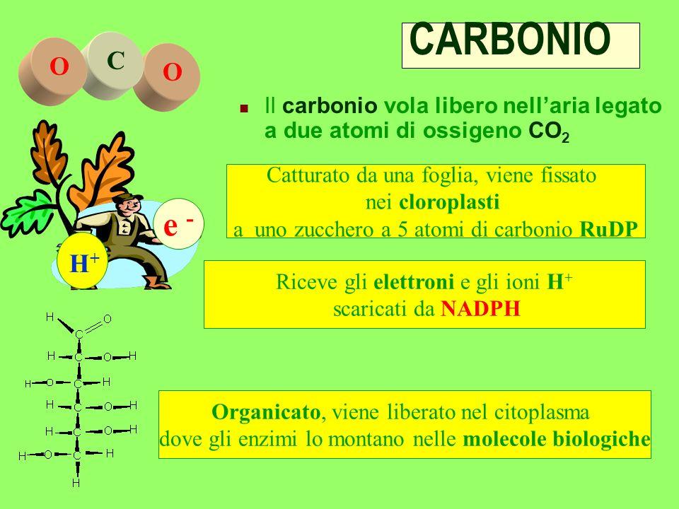 CARBONIO O. C. Il carbonio vola libero nell'aria legato a due atomi di ossigeno CO2. e - H+ Catturato da una foglia, viene fissato.
