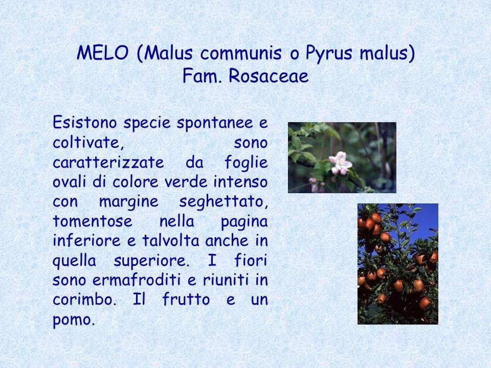 MELO (Malus communis o Pyrus malus) Fam. Rosaceae
