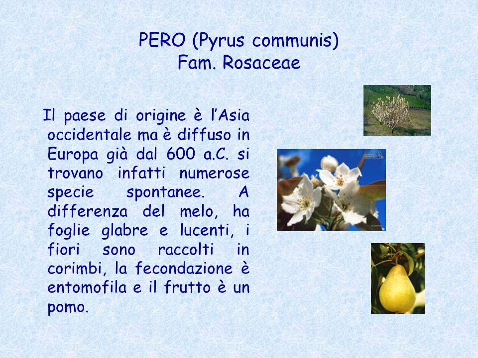 PERO (Pyrus communis) Fam. Rosaceae