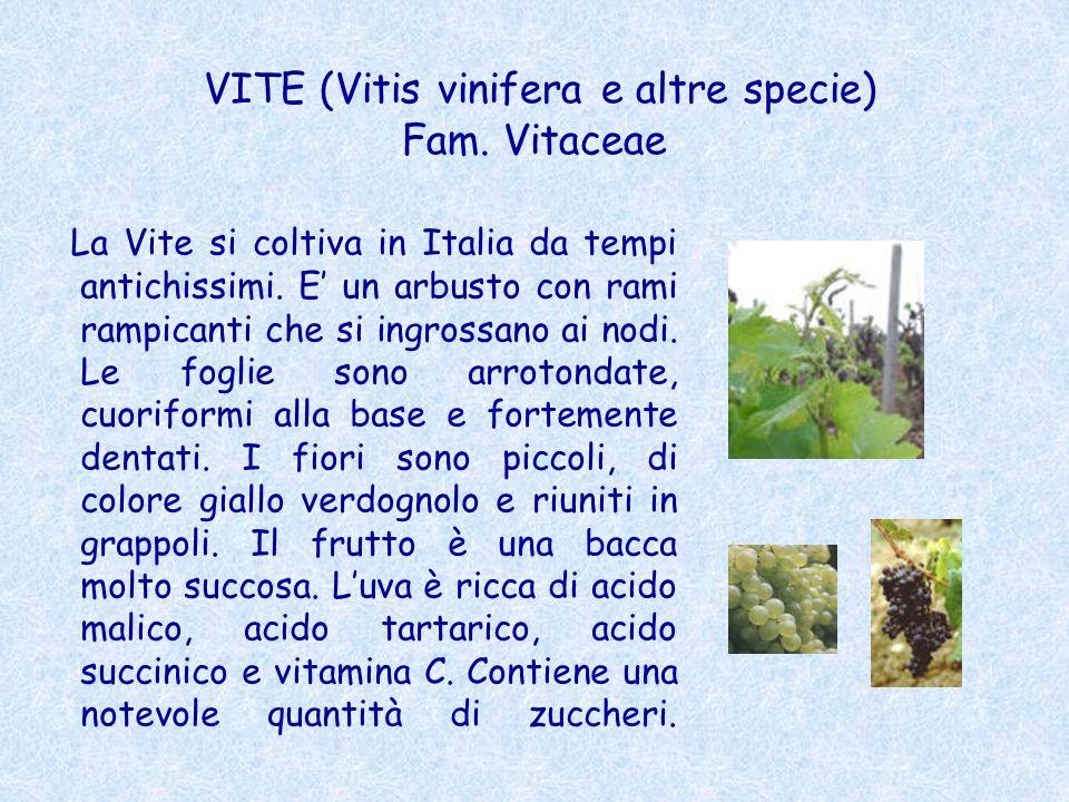 VITE (Vitis vinifera e altre specie) Fam. Vitaceae