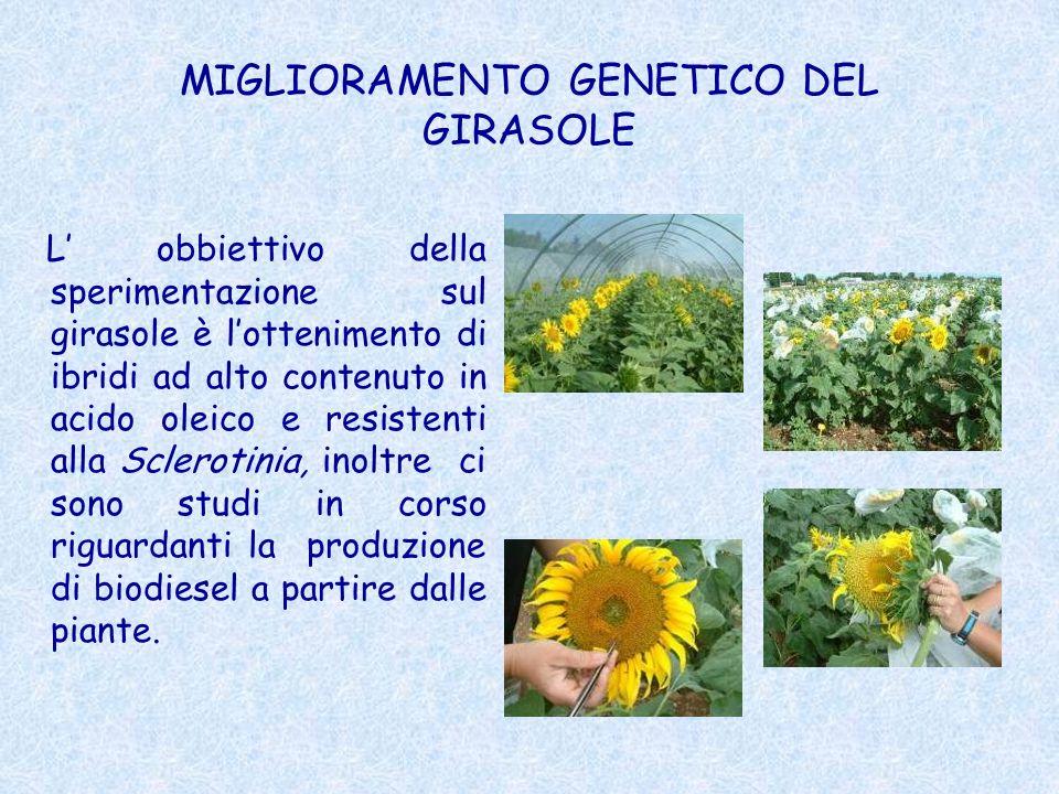 MIGLIORAMENTO GENETICO DEL GIRASOLE
